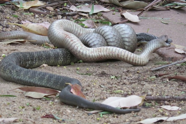 Brown_snake_vs_tiger_snake_2018-01-17.jpg