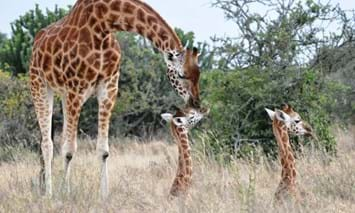 giraffe with young_2018_01_30.jpg