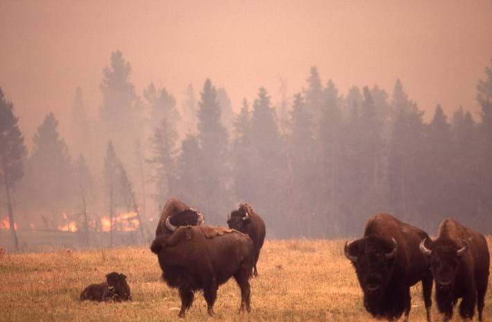 YellowstoneFiresBISON.jpg