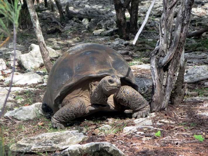 Aldabran giant tortoise_2018_02_01.jpg