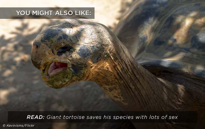 giant-tortoise-sex_related_31_01_18.jpg