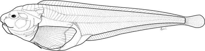 snailfish drawing_2018_02_02.jpg