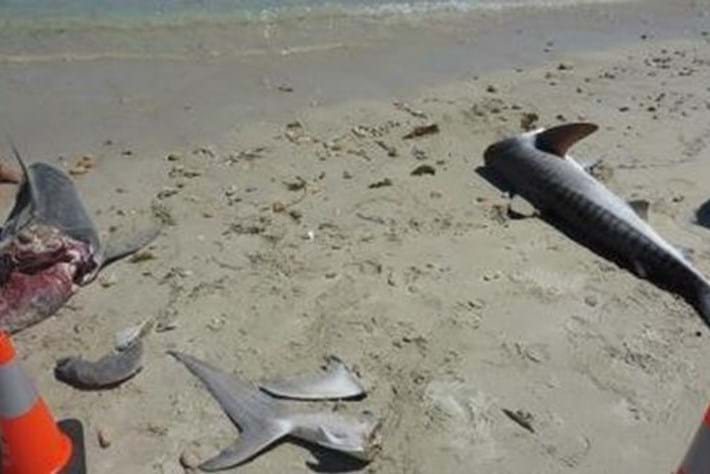 Tiger sharks beheaded, scattered on popular Australian beach