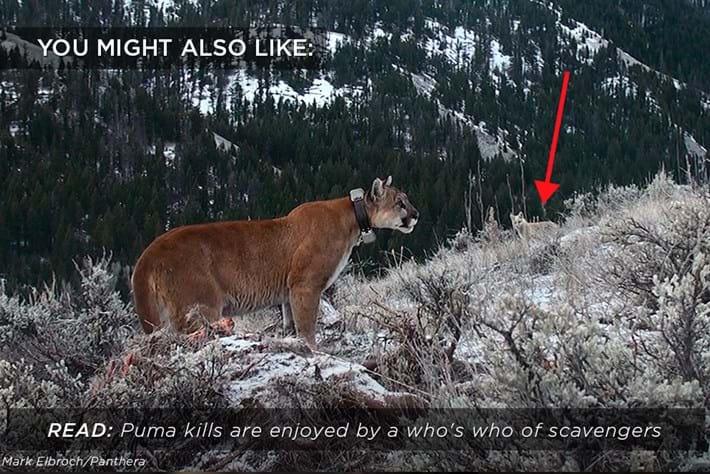 puma-kills-scavengers_related_2018-02-02.jpg