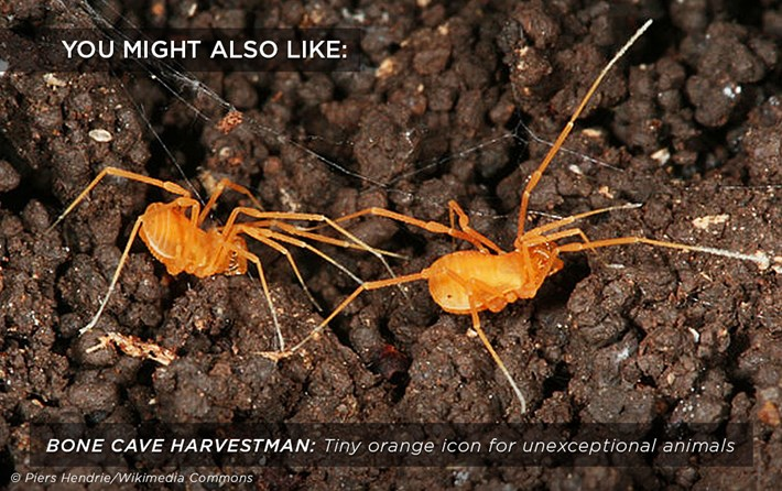 bone-cave-harvestman_related_05_02_18.jpg