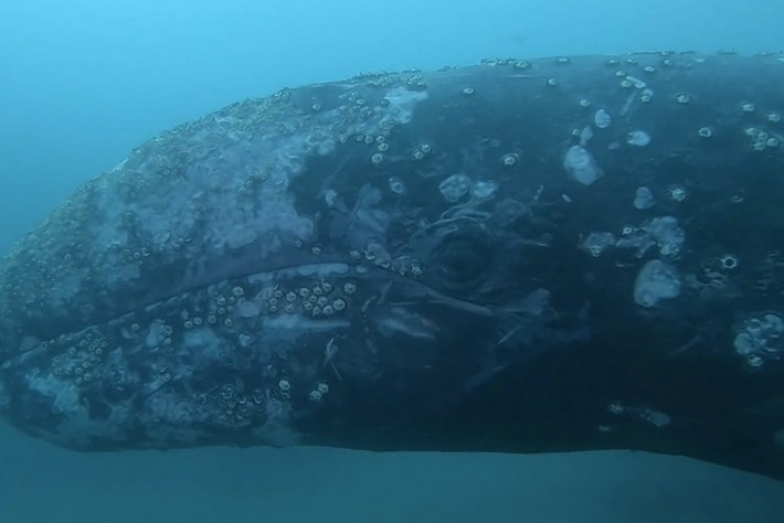 Watch: Gray whale 'materialises' from the abyss, investigates divers
