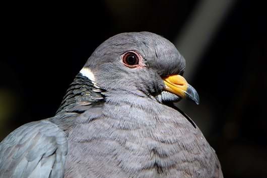band-tailed pigeon_2018_02_06.jpg