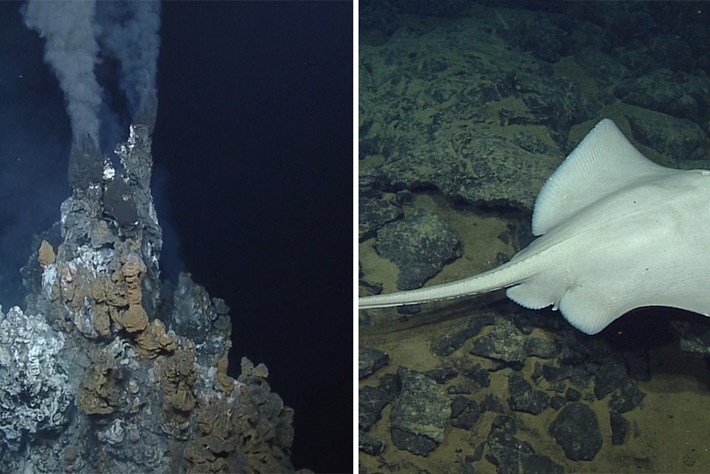 These deep-sea skates use hydrothermal vents as egg incubators