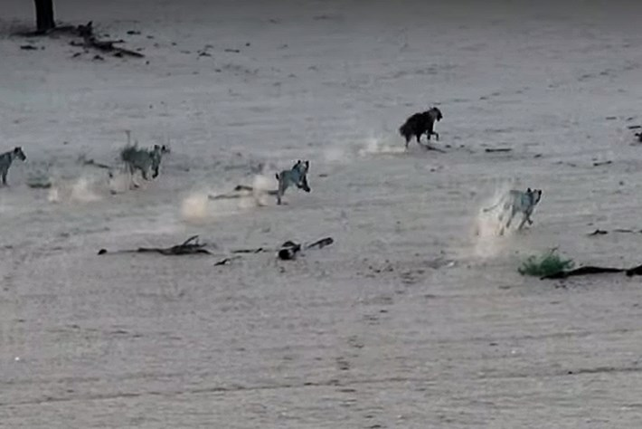hyena-chase_2018_02_08.jpg