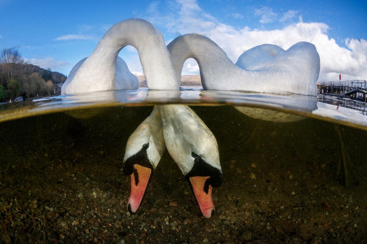 Grant-Thomas-swans-UPY-2018-02-14.jpg