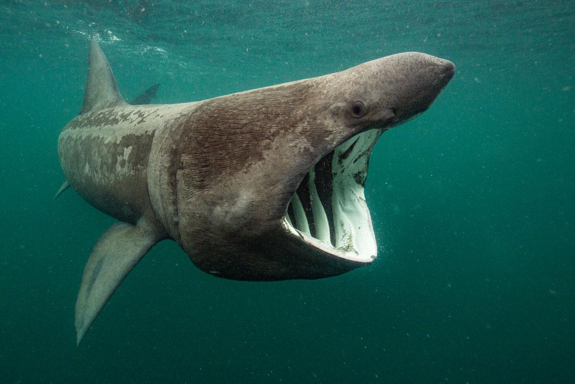 Will-Clark-basking-shark-UPY-2018-02-14.jpg