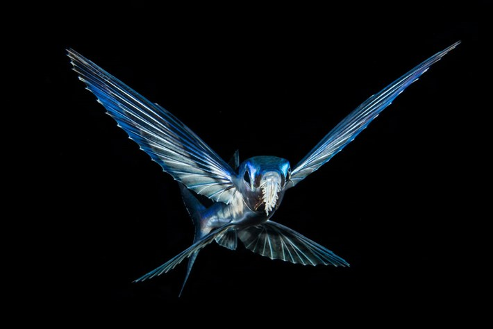 Brian-Eckstein-flying-fish-UPY-2018-02-14.jpg