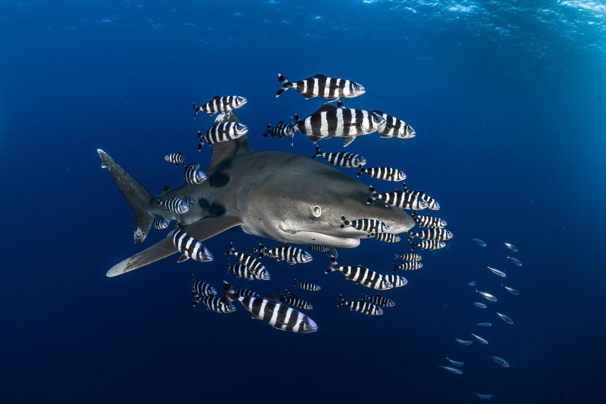Greg-Lecoeur-shark-zebrafish-UPY-2018-02-14.jpg