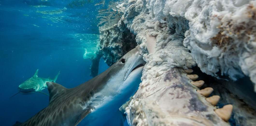 Christopher-Burville-shark-carcass-UPY-2018-02-14.jpg