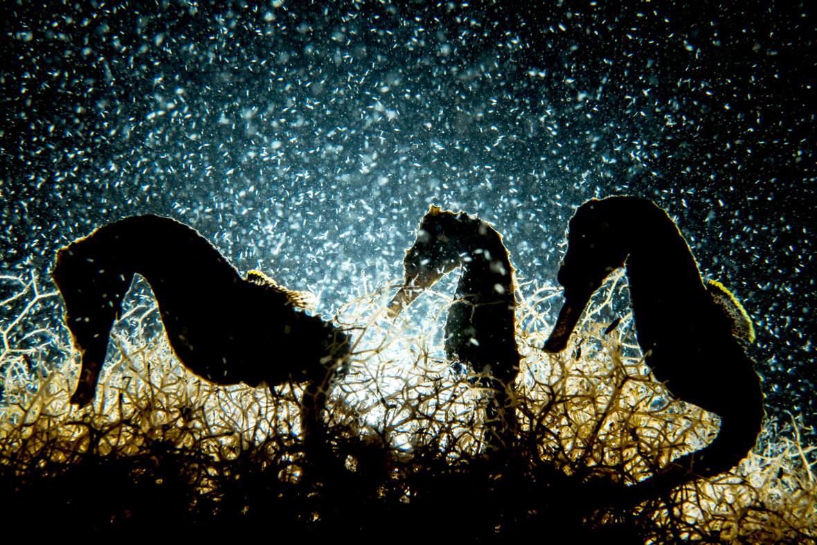 Shane-Gross-seahorses-UPY-2018-02-14.jpg