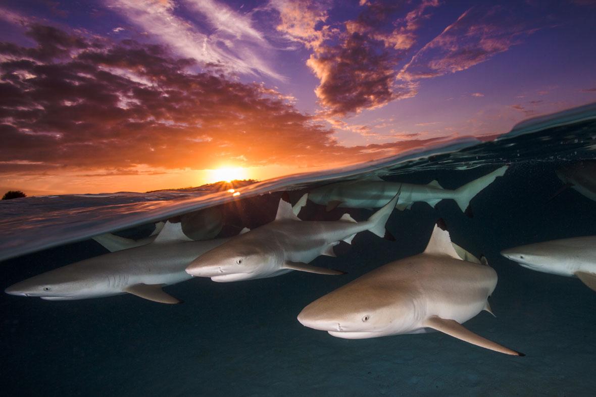 Renee-Capozzola-sharks-UPY-2018-02-14.jpg