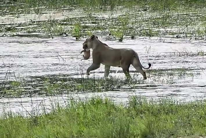 lioness-carries-cub-river_2018_02_16.jpg
