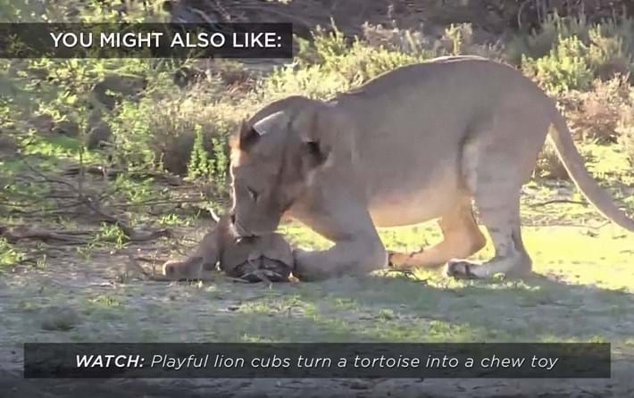 lions-playing-tortoise_related_16_02_18.jpg