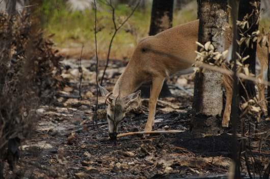 deer post fire burn_2018_02_20.jpg