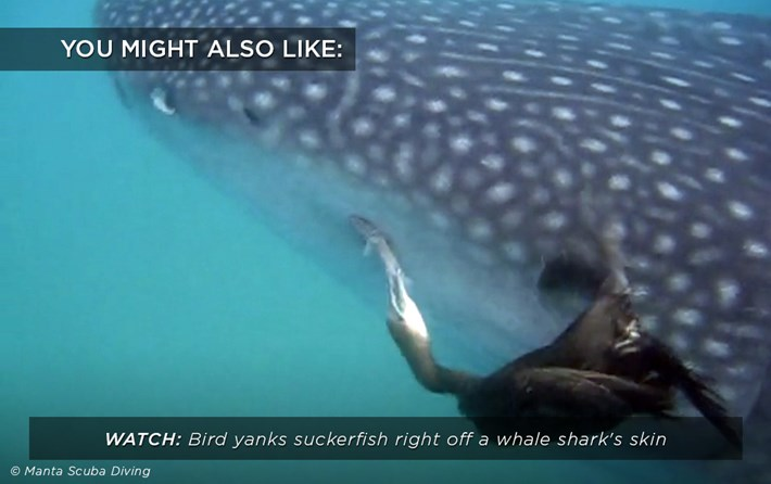 cormorant-whale-shark_related_21_02_18.jpg