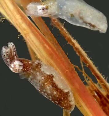 pygmy squid new species2_2018_02_22.jpeg