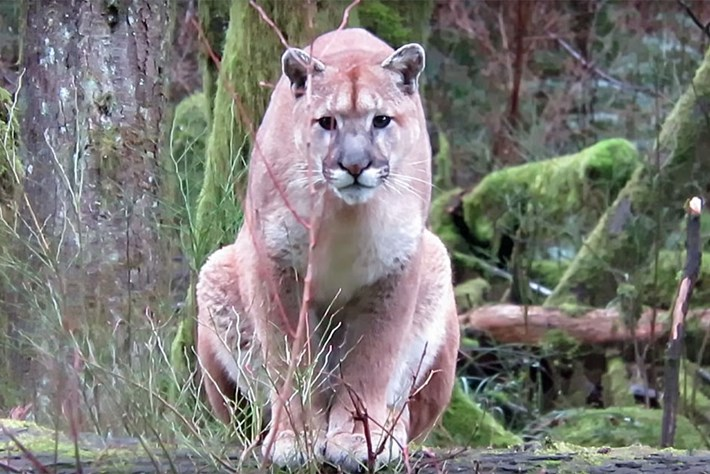 puma-encounter-2018-03-08.jpg
