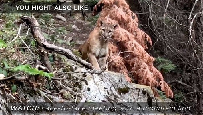 mountain-lion-related-2018-03-08.jpg