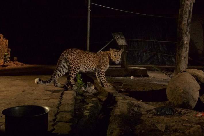 Leopard-Mumbai-2-edit-2018-03-09.jpg