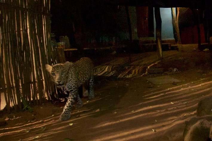 Leopard-Mumbai-3-2018-03-09.jpg