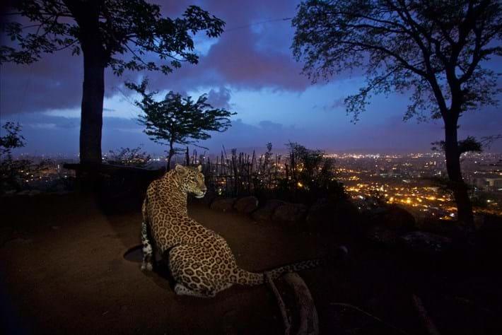 Leopard-Mumbai-edit-2018-03-09.jpg