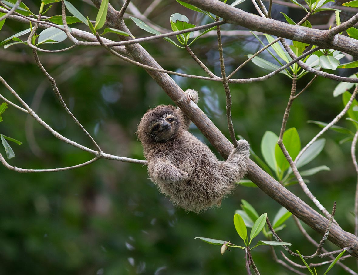 four-month-old-pygmy-sloth-2018-03-14.jpg