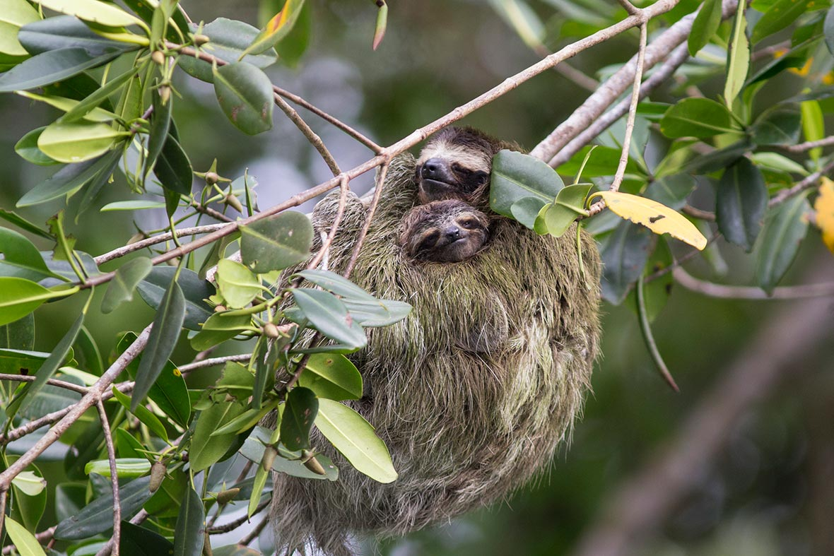 mother-pygmy-three-toed-sloth-2018-03-14.jpg