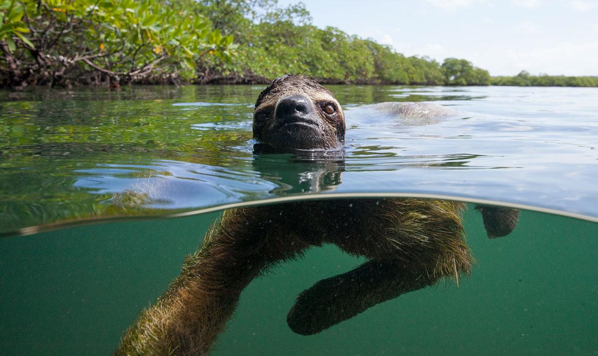 pygmy-three-toed-sloth-swimming-2018-03-14.jpg