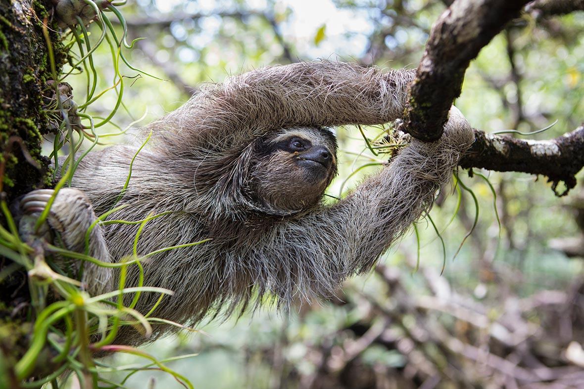 pygmy-three-toed-sloth-tree-2018-03-14.jpg