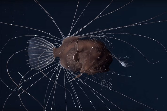 First-ever footage of mating anglerfish is strangely mesmerising