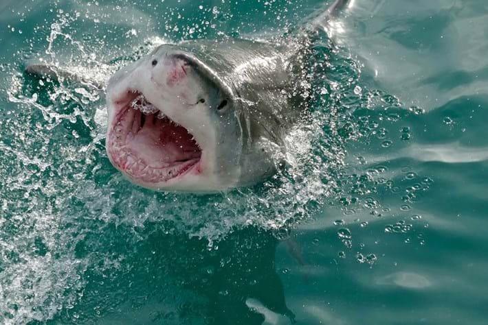 great-white-shark-2018-03-28.jpg