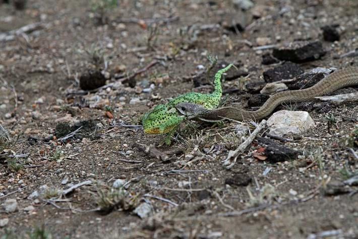 flap-neck-chameleon-boomslang-3-2018-04-03.jpg