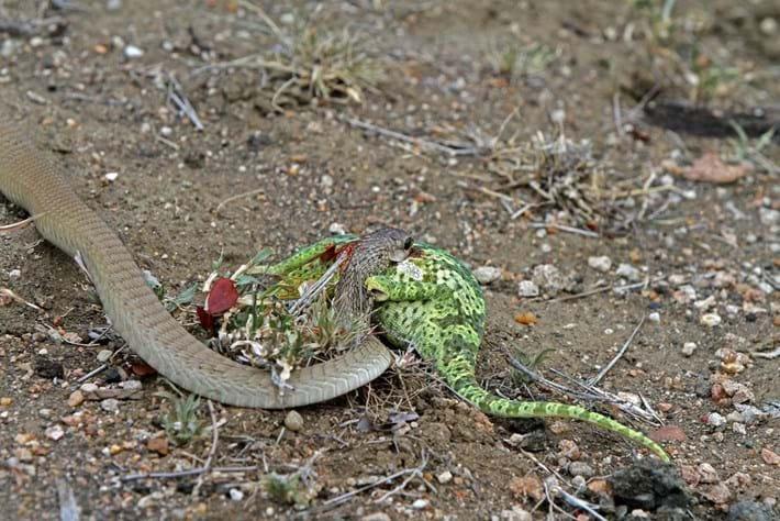 flap-neck-chameleon-boomslang-2-2018-04-03.jpg