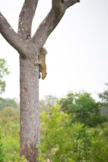 leopard-tree-2-2018-04-20.jpg
