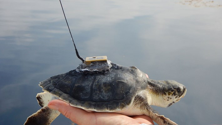 kemps-turtle-with-tracker-2018-04-26.jpg
