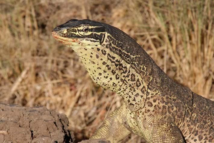 goanna-lizard-2018-05-02.jpg