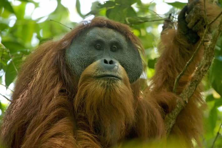 tapanuli-orangutan-2018-05-08.jpg