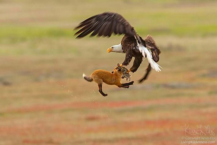 fox-eagle-rabbit_2018-05-25.jpg