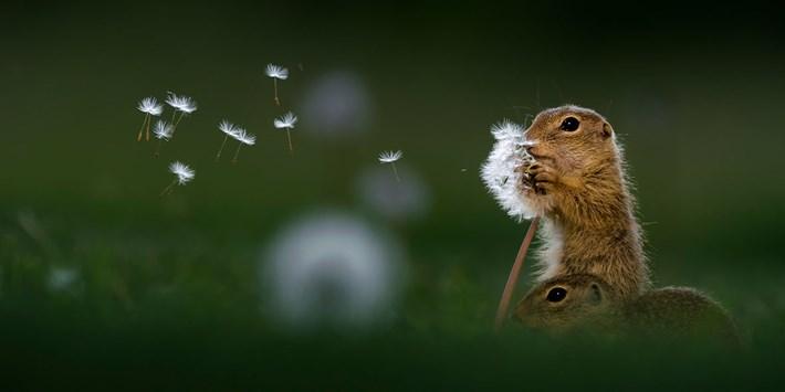 Bence-Mate-squirrels-dandelion_2018-05-28.jpg