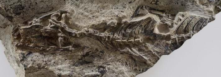 preserved-specimen-Megachirella_2018-06-05.jpg