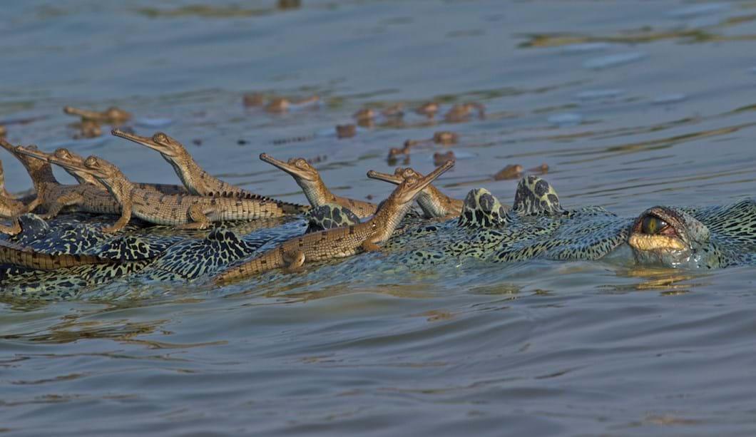 baby-gharials-on-back_3_2018-06-11.jpg