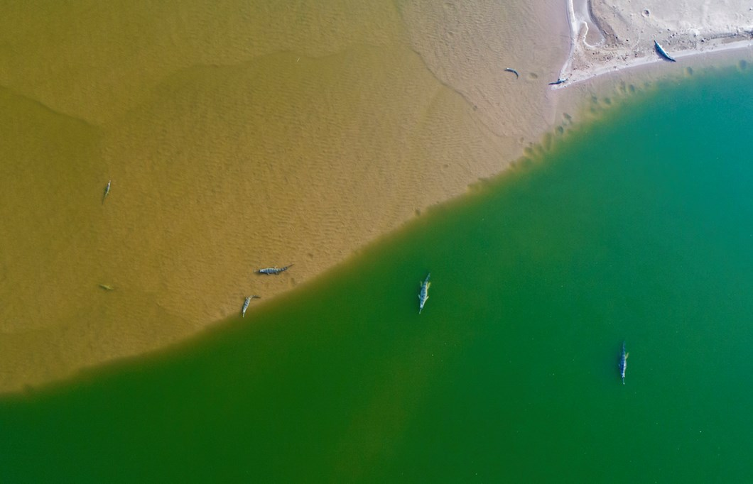 aerial-view-gharials-chambal_2018-06-11.jpg