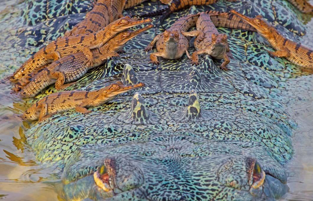 baby-gharials-on-back_2018-06-11.jpg