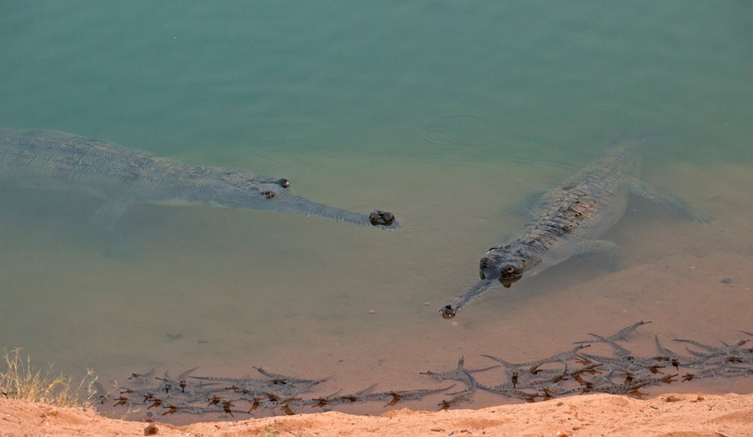 baby-gharials-two-adults_2018-06-11.jpg