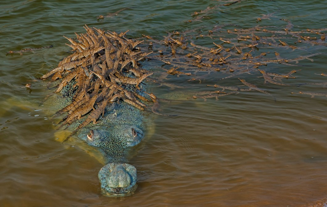 baby-gharials-with-adult_2018-06-11.jpg